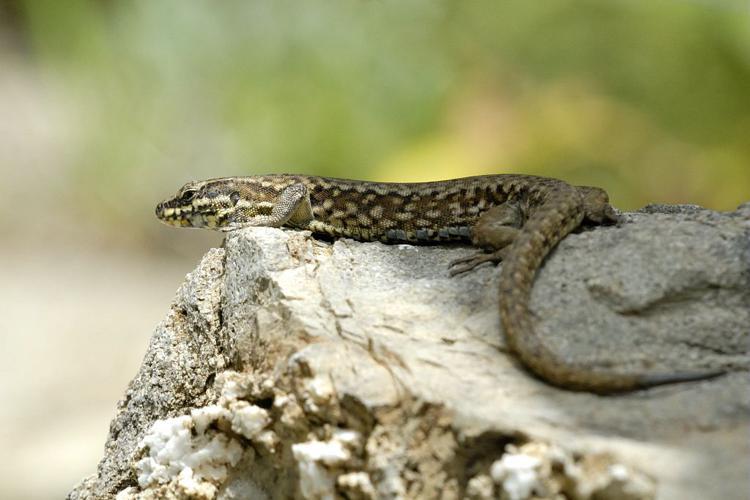 Lézard des murailles © Mireille Coulon - Parc national des Ecrins