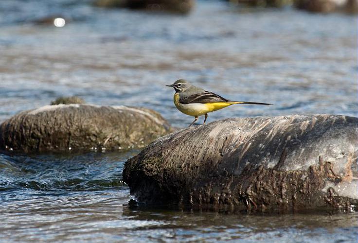 Bergeronnette des ruisseaux © Mireille Coulon - Parc national des Ecrins
