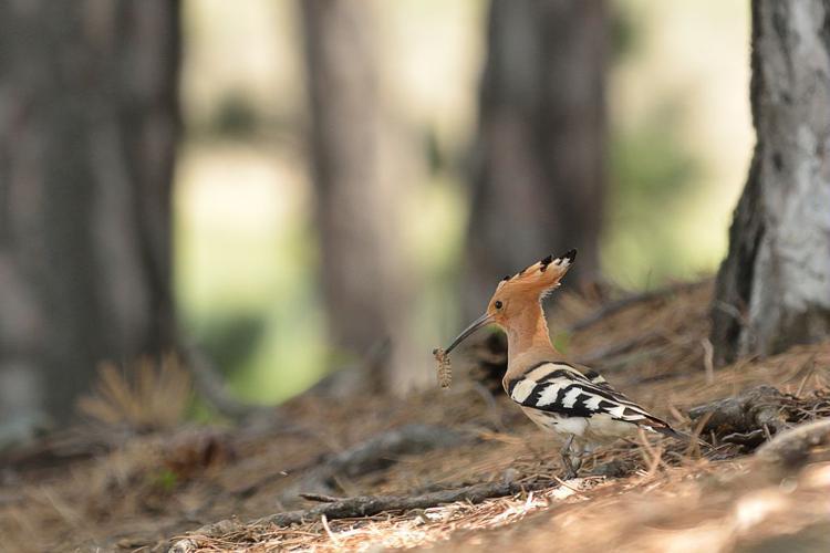 Huppe fasciée © Mireille Coulon - Parc national des Ecrins