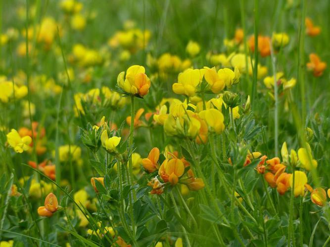 Lotier corniculé, Pied de poule, Sabot-de-la-mariée - prairie © Ludovic Imberdis - Parc national des Ecrins
