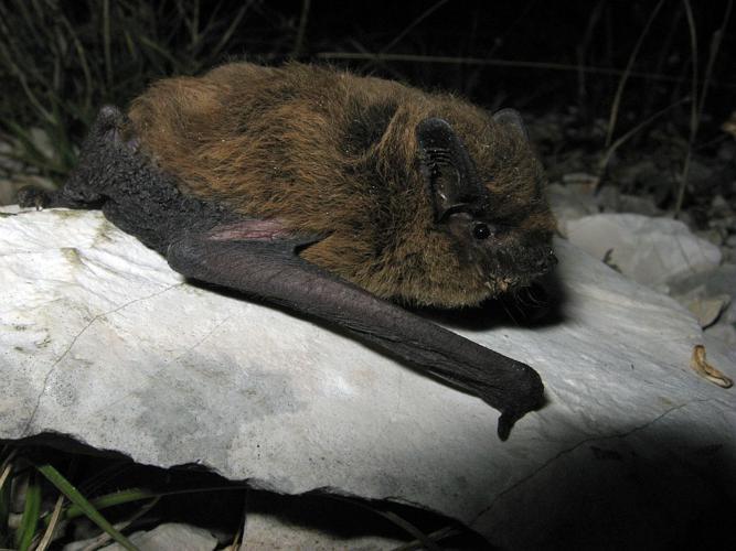 Pipistrelle de Kuhl © Marc Corail - Parc national des Ecrins