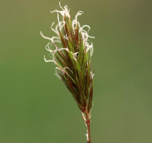 Flouve odorante © Cédric Dentant - Parc national des Ecrins