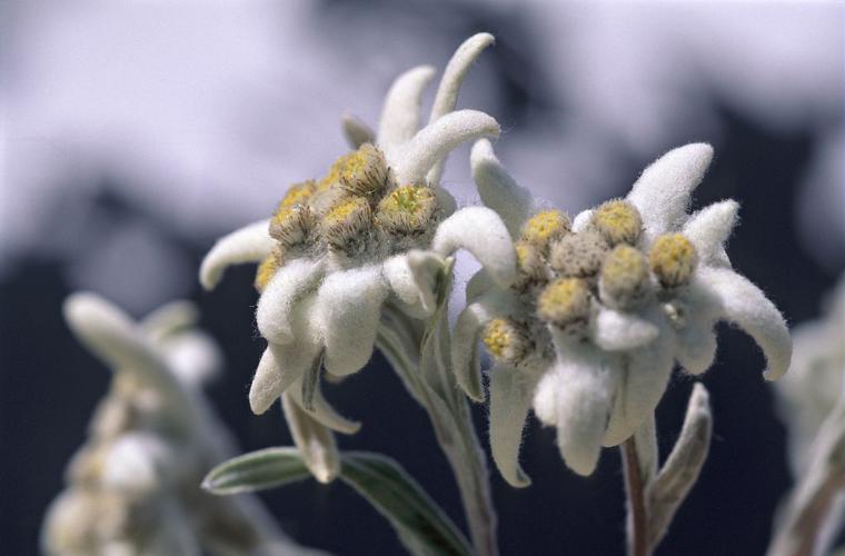 Edelweiss © Denis Fiat - Parc national des Ecrins