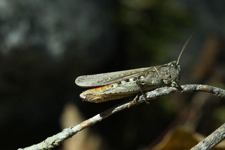 Criquet des pins © Donovan Maillard - Parc national des Ecrins