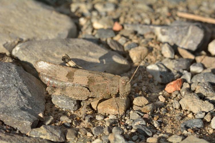 Oedipode bleue © Mireille Coulon - Parc national des Ecrins