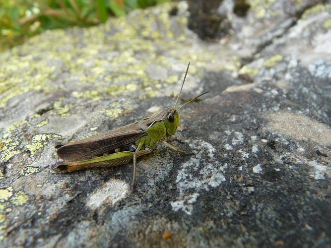 Criquet verdelet © Marion Digier - Parc national des Ecrins