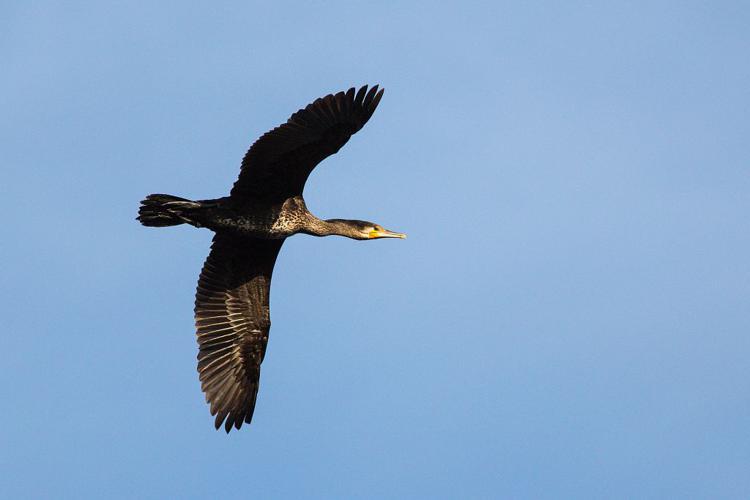 Grand Cormoran en vol © Pascal Saulay - Parc national des Ecrins