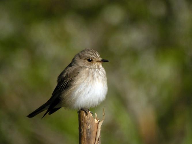 Gobemouche gris © Damien Combrisson - Parc national des Ecrins