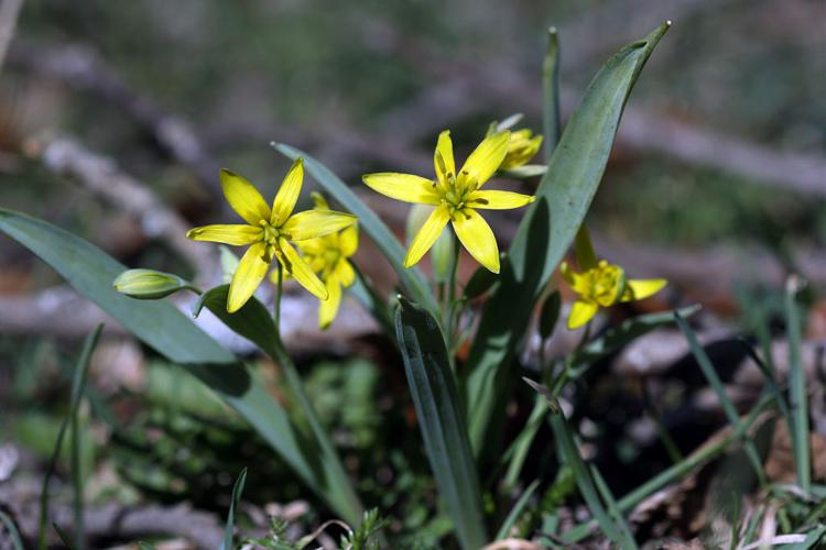 Gagée jaune, Gagée des bois, Étoile jaune, Ornithogale jaune © Cédric Dentant - Parc national des Ecrins