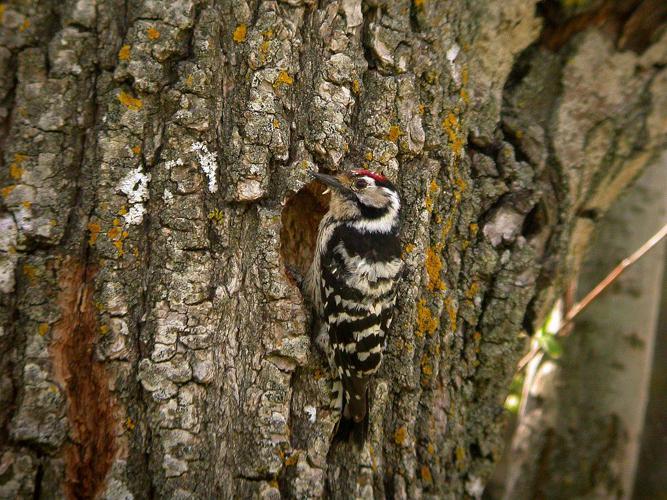 Pic épeichette © Damien Combrisson - Parc national des Ecrins