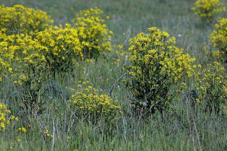 Bunias d'Orient, Roquette d'Orient - plante invasive - Chabottes - Champsaur © Marc Corail - Parc national des Ecrins
