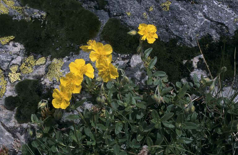 Hélianthème jaune, Hélianthème commun © Marie-Geneviève Nicolas - Parc national des Ecrins