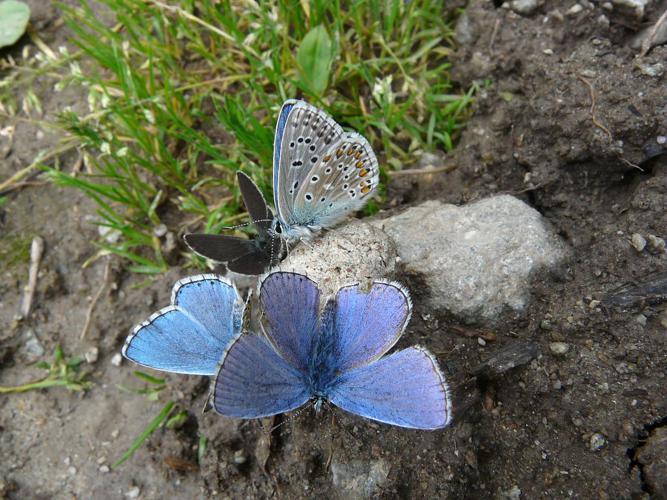 Azuré bleu-céleste (L'), Bel-Argus (Le), Argus bleu céleste (L'), Lycène Bel-Argus (Le), Argus bleu ciel (L') © Marion Digier - Parc national des Ecrins