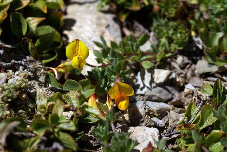 Lotier des Alpes © Cédric Dentant - Parc national des Ecrins