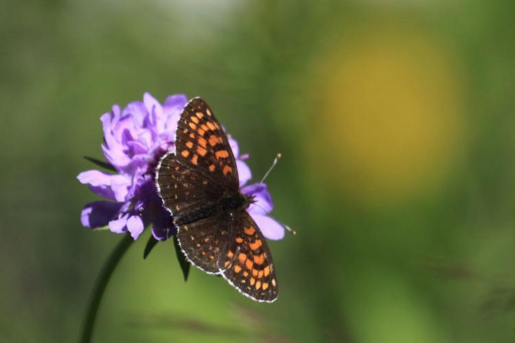 Mélitée noirâtre (La), Damier noir (Le), Argynne dictynne (L') - ATBI Lauvitel  - Oisans © Marc Corail - Parc national des Ecrins