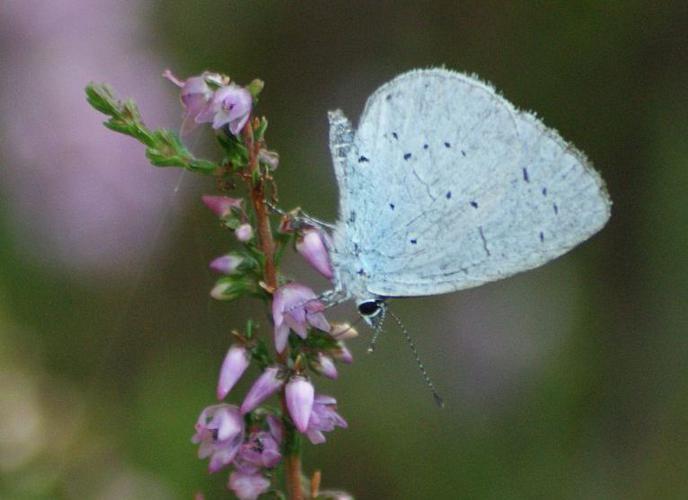 Azuré des nerpruns © Donovan Maillard - Parc national des Ecrins