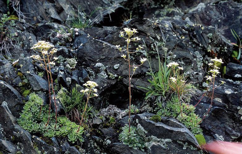Saxifrage aizoon © Jean-Pierre Nicollet - Parc national des Ecrins