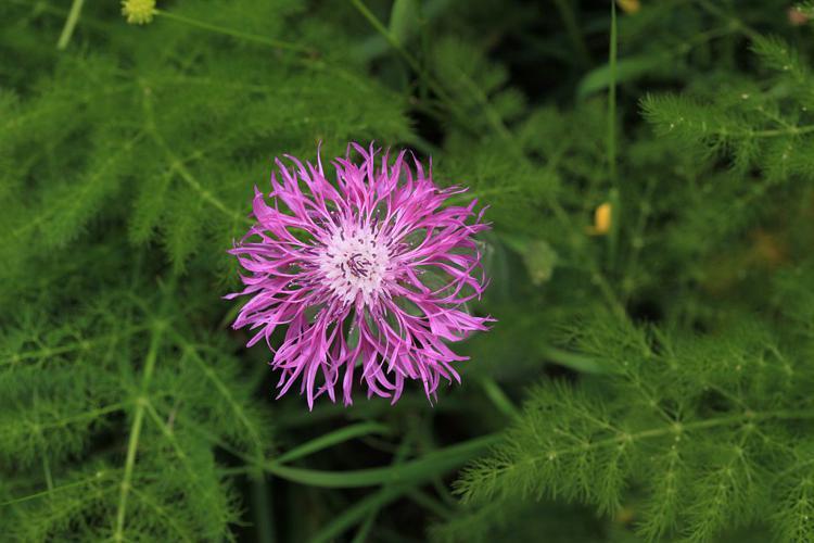 Centaurée à une fleur © Marc Corail - Parc national des Ecrins