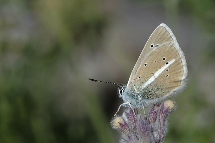 Sablé du sainfoin © Gil Deluermoz - Parc national des Ecrins