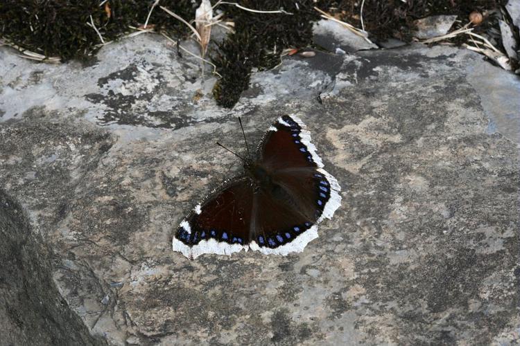Morio © Bernard Nicollet - Parc national des Ecrins