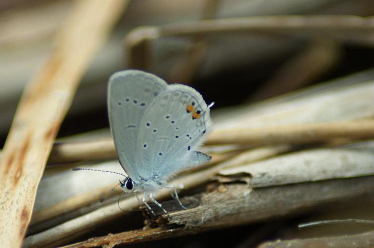 Azuré du trèfle © Donovan Maillard - Parc national des Ecrins