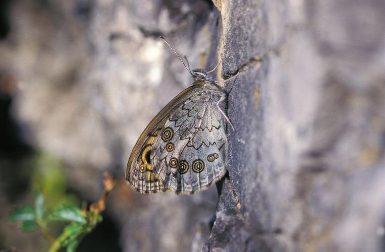 Némusien © Joel Blanchemain - Parc national des Ecrins
