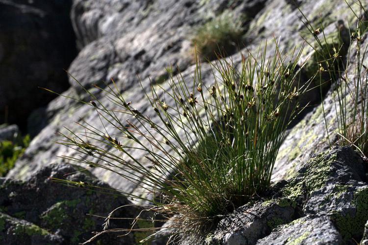 Jonc trifide © Bernard Nicollet - Parc national des Ecrins