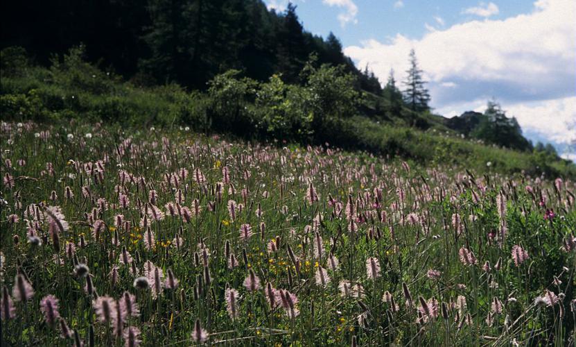 Plantain moyen © Bernard Nicollet - Parc national des Ecrins