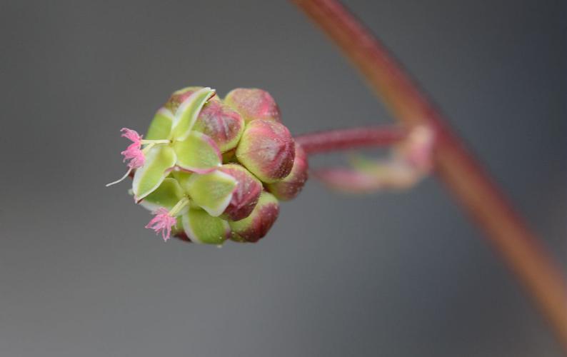 Pimprenelle à fruits réticulés © Bernard Nicollet - Parc national des Ecrins