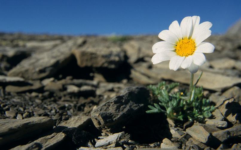 Marguerite des Alpes, Leucanthémopsis des Alpes © Marc Corail - Parc national des Ecrins