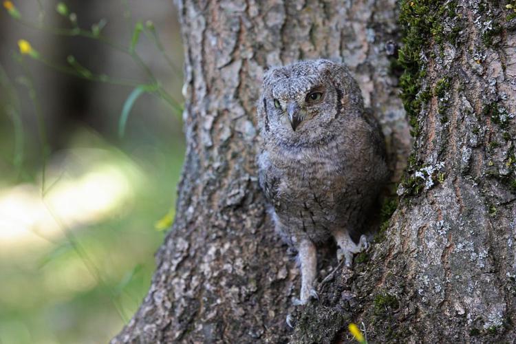 Hibou petit-duc, Petit-duc scops © Damien Combrisson - Parc national des Ecrins