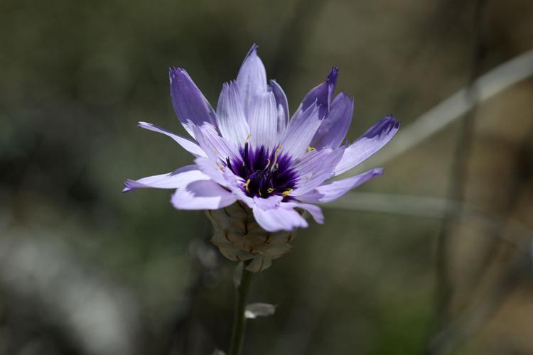 Cupidone, Catananche bleue, Cigaline © Cédric Dentant - Parc national des Ecrins