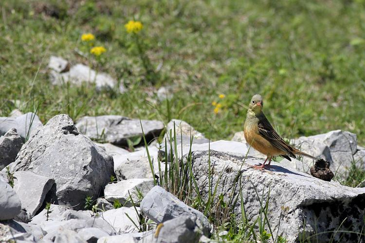 Bruant ortolan © Pascal Saulay - Parc national des Ecrins