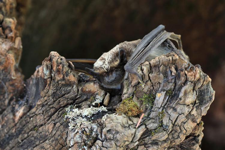 Sérotine bicolore © Marc Corail - Parc national des Ecrins