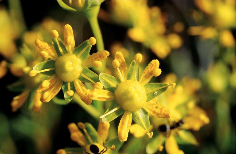 Saxifrage cilié, Faux-aizon, Saxifrage faux Aïzoon © Bernard Nicollet - Parc national des Ecrins