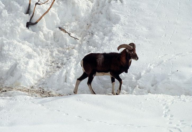 Mouflon © Parc national des Ecrins