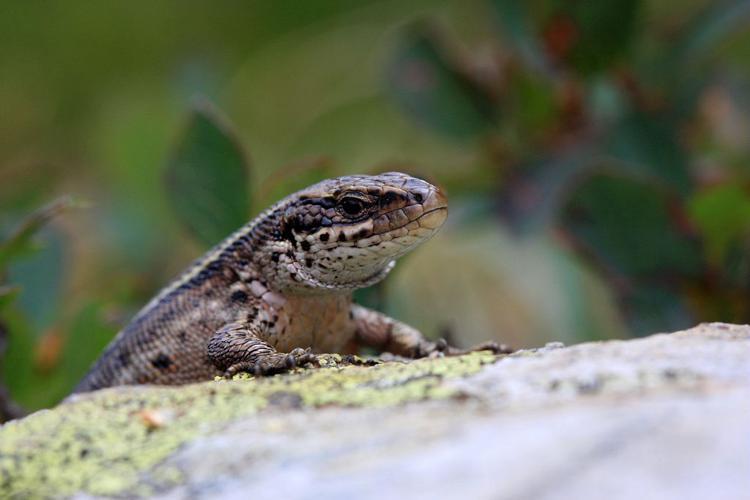Lézard vivipare © Marc Corail - Parc national des Ecrins