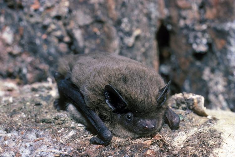 Pipistrelle de Nathusius © François Schwaab