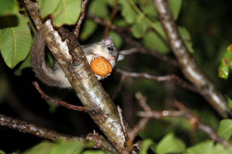 Loir gris, Loir - noix © Marc Corail - Parc national des Ecrins