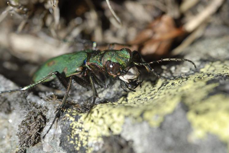 Cicindela campestris © Mireille Coulon - Parc national des Ecrins