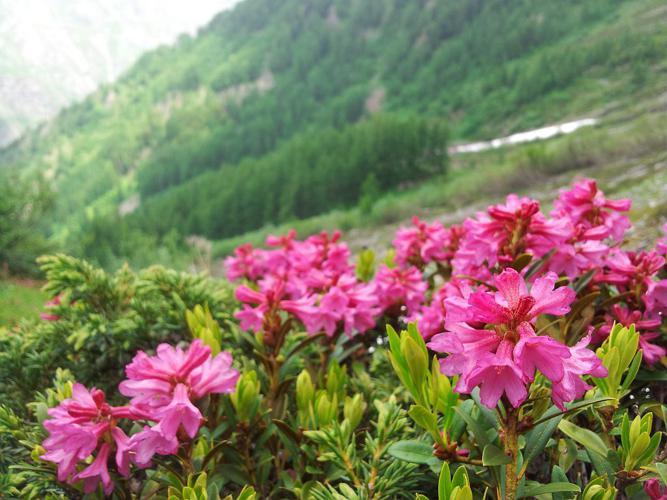 Rhododendron ferrugineum au vallon de Combe Oursière © Marion Digier - Parc national des Ecrins