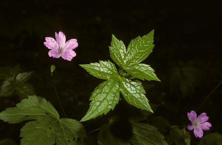 Géranium noueux © Bernard Nicollet - Parc national des Ecrins