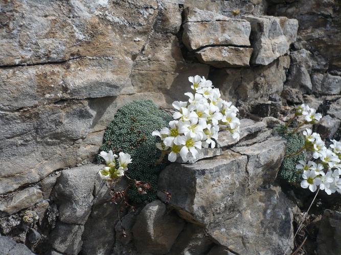 Saxifrage fausse diapensie © Marie-Geneviève Nicolas - Parc national des Ecrins