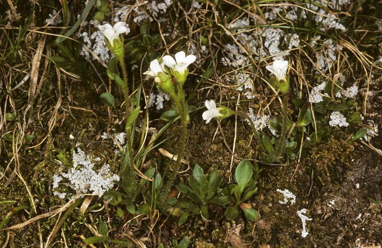 Saxifrage fausse Androsace © Bernard Nicollet - Parc national des Ecrins