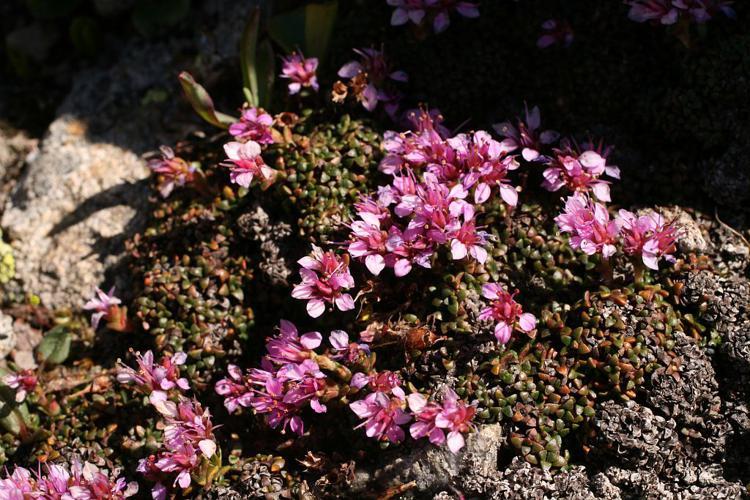 Saxifrage tronquée, Saxifrage à feuilles rétuses, Saxifrage valdôtaine © Marie-Geneviève Nicolas - Parc national des Ecrins