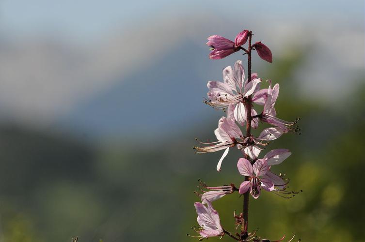 Fraxinelle blanche, Dictame blanc © Mireille Coulon - Parc national des Ecrins