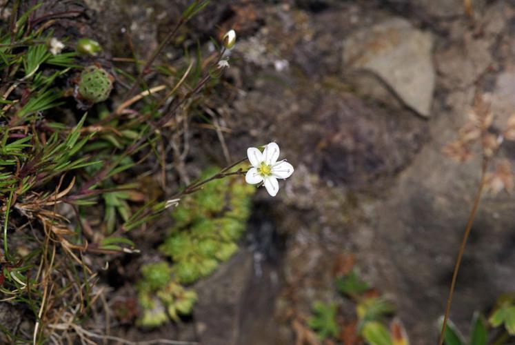 Alsine calaminaire, Minuartie du printemps, Minuartia du printemps © Cédric Dentant - Parc national des Ecrins
