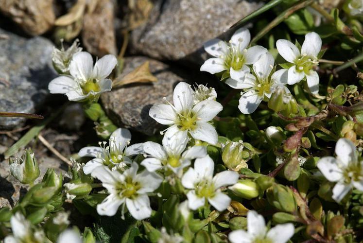 Sabline fausse Moehringie © Cédric Dentant - Parc national des Ecrins