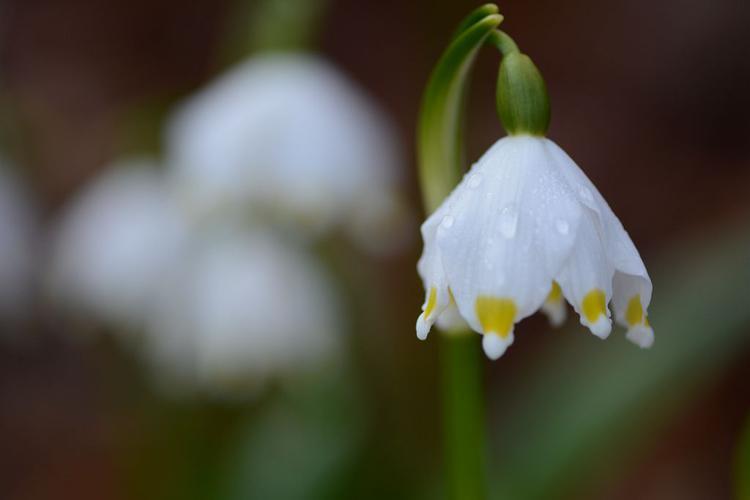 Nivéole de printemps, Nivéole printanière © Dominique Vincent - Parc national des Ecrins