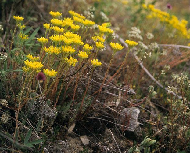 Orpin de(s) montagne(s) © Bernard Nicollet - Parc national des Ecrins